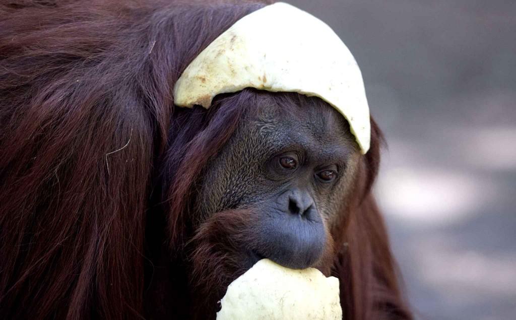 Orangotanga Sandra