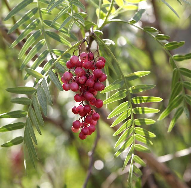 Plantas venenosas Aroeira