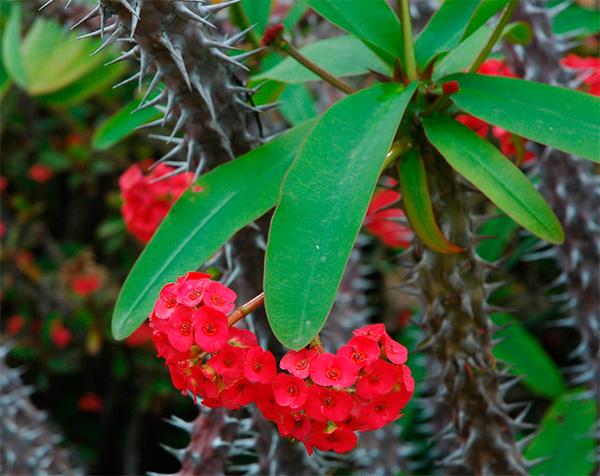Plantas venenosas Coroa de Cristo