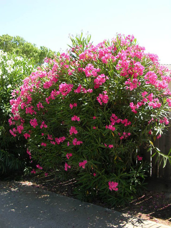 Plantas venenosas Espirradeira