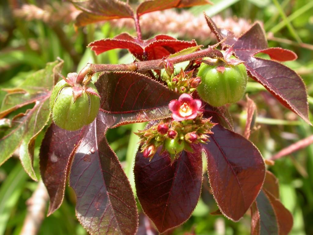 Plantas venenosas Pinhão Roxo