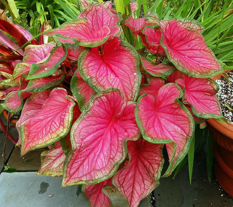 Plantas venenosas Tinhorão
