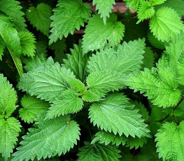 Plantas venenosas Urtiga