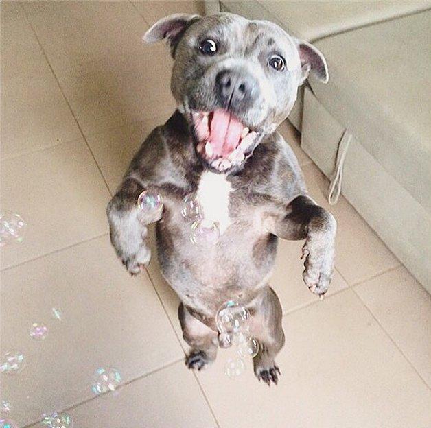 pitbull-agressivo-06