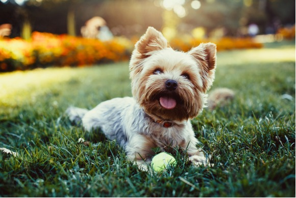 beautiful-yorkshire-terrier-playing-with-a-ball-on-a-grass-picture-id485251236
