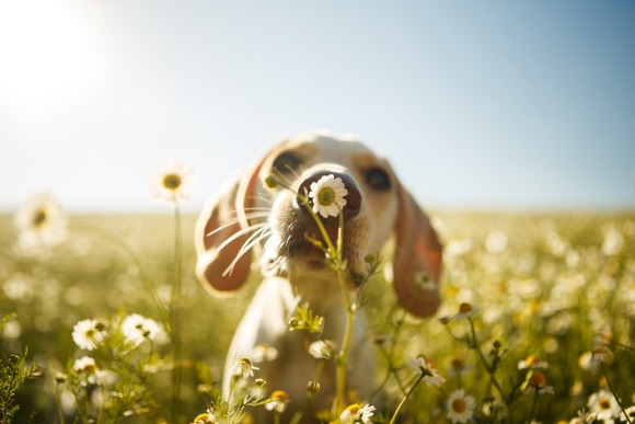 dog-smelling-a-flower-picture-id808022474