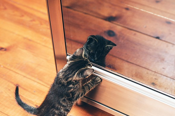 Adorable little grey tabby kitten seeing its reflection in the glass mirror standing on its hind legs staring mesmerized at the image, high angle view
