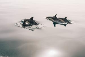 Os golfinhos ajudaram no resgate do homem