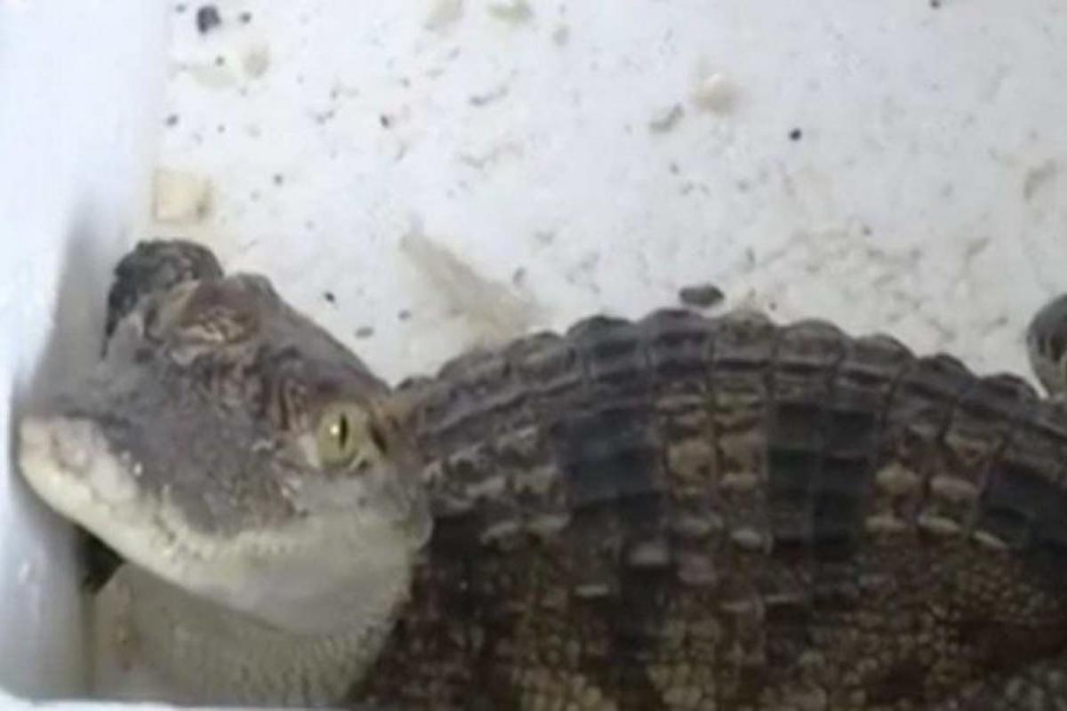 A espécie do crocodilo está em extinção