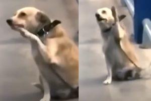 Cadela famosa por acenar pessoas em mercado dá à luz
