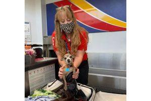 A funcionária Cathy, da companhia aérea Southwestern, encontrou a chihuahua Icky dentro de uma bota de cowboy de seu dono, Jared Owens