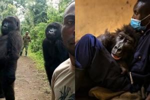 A gorila Ndakasi morreu nos braços do cuidador André