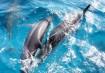 Golfinhos em Fernando de Noronha (Foto: Antônio Melcop)